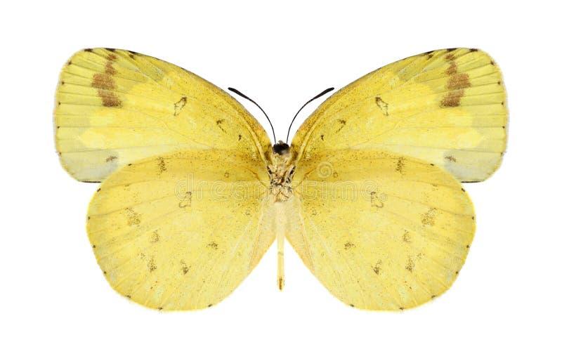 Hecabe de Eurema de la mariposa (femenino) (superficie inferior) imágenes de archivo libres de regalías