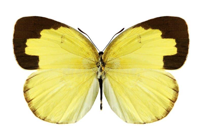 Hecabe de Eurema de la mariposa (varón) fotografía de archivo