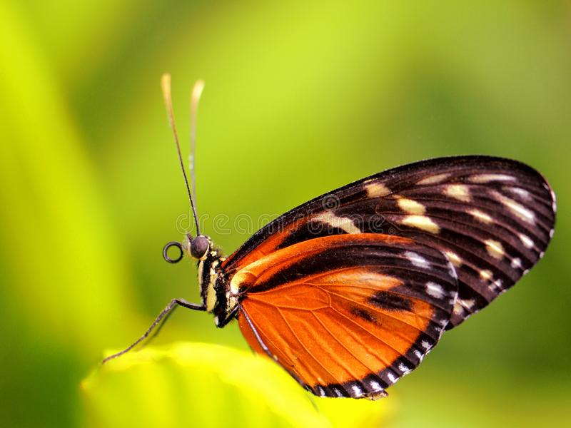 Hecale Longwing, Heliconiid butterfly on leaf stock photo
