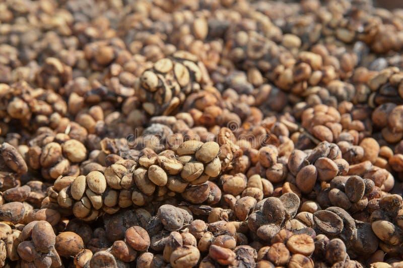 Heces asiáticas de Luwak de la civeta de palma con los granos de café imagenes de archivo