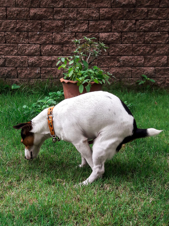 Heck-Hund auf Grün stockfoto