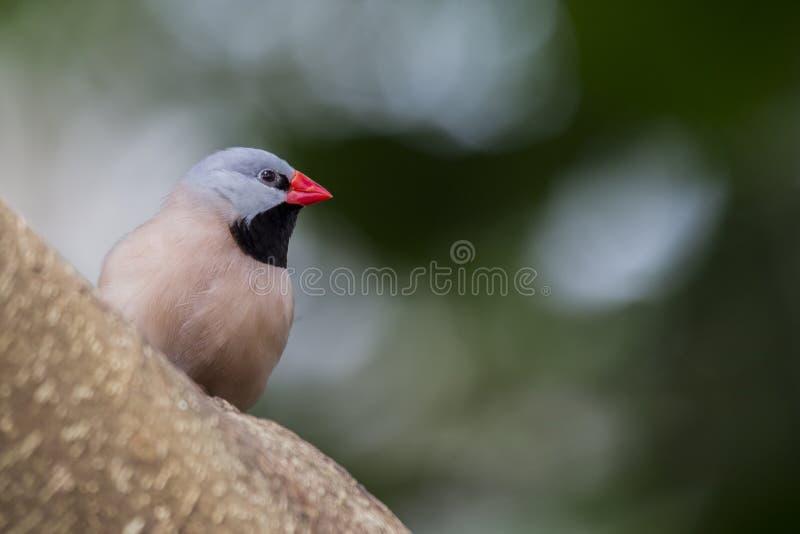 Heck& x27; s-Grassfinch u. x28; Poephila acuticauda& x29; stockbild