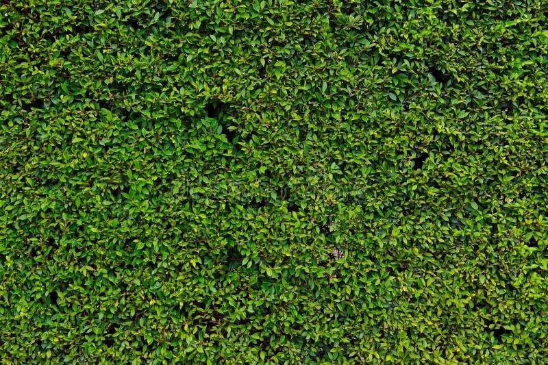 Hecke mit grünen Blättern stockfotos