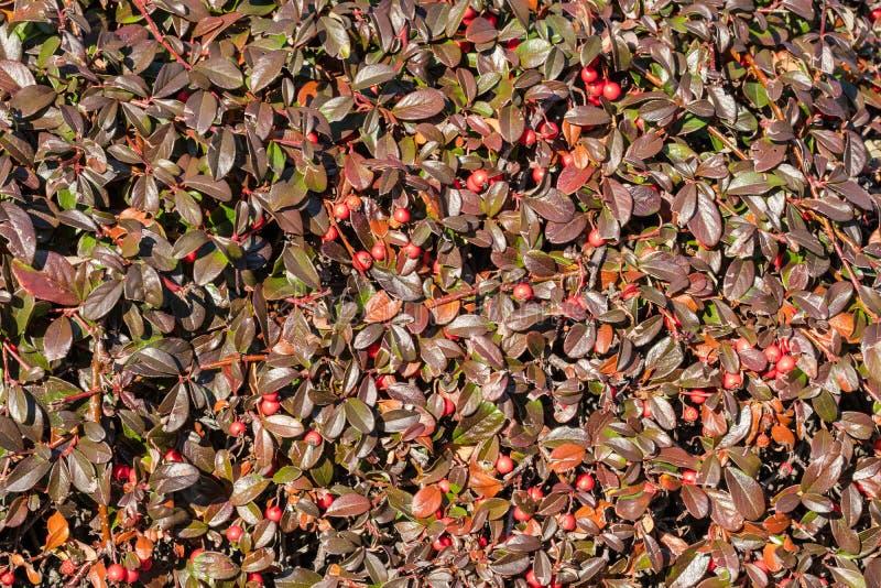 Hecke von Cotoneaster mit roten Früchten stockbild