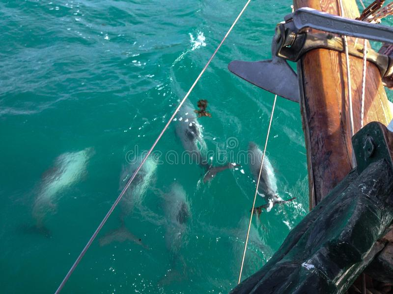 Hector`s dolphins swimming next to boat in Akaroa, South Island, New Zealand royalty free stock image