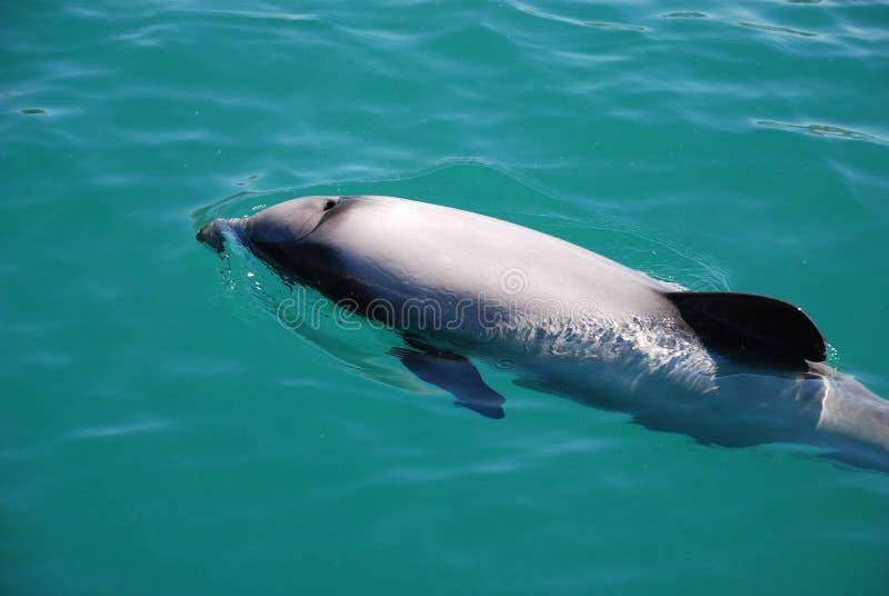 hectors δελφινιών στοκ φωτογραφία