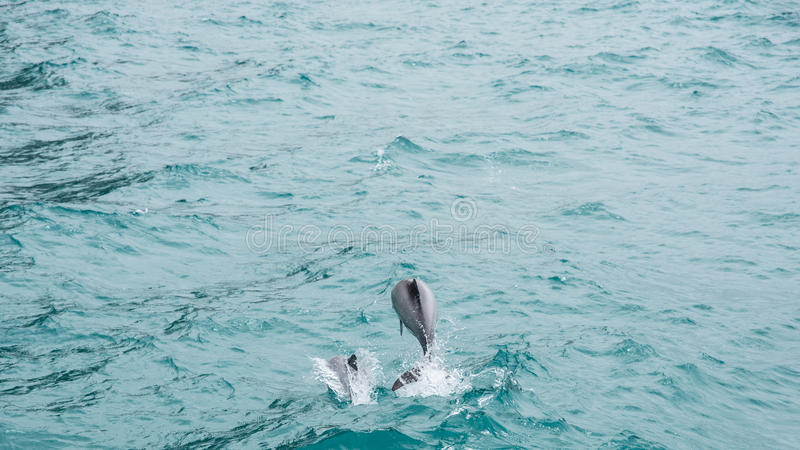 Hectors golfinhos imagens de stock