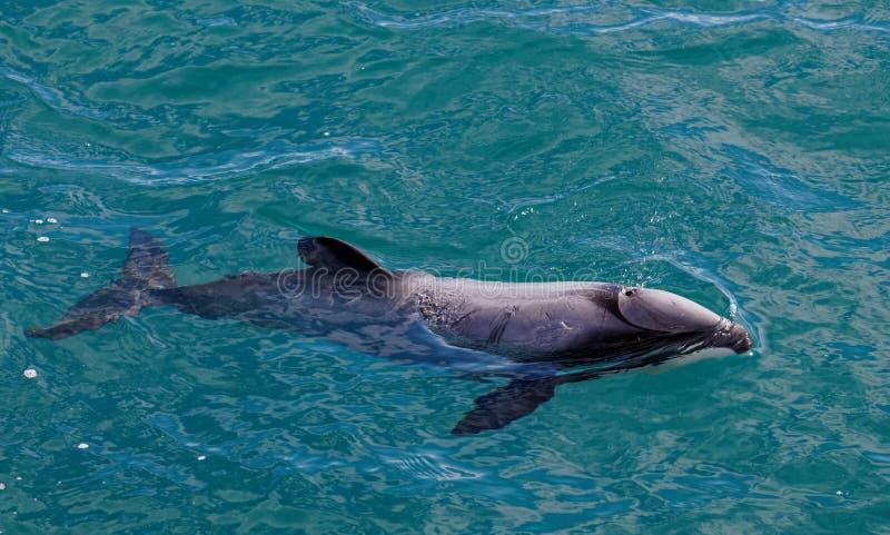 Hectors o golfinho, golfinho posto em perigo, Nova Zelândia imagem de stock royalty free
