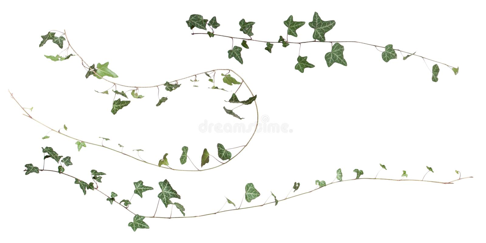 Hedera helix royalty free stock image