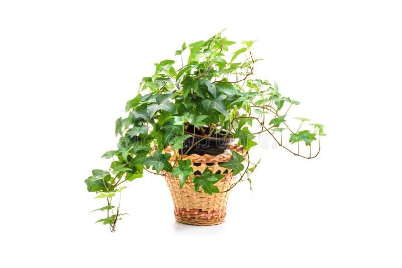 Hedera helix, pianta dell'edera in vaso di fiore fotografia stock libera da diritti