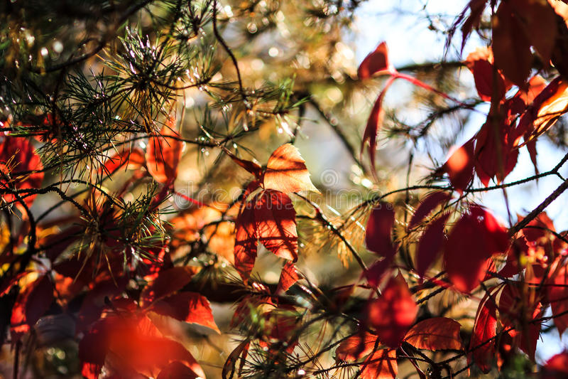 Hedera or Ivy leaves in the branches of fir-tree. Red Hedera or Ivy leaves implicated in the branches of fir-tree in the autumn season period with sparkling royalty free stock images