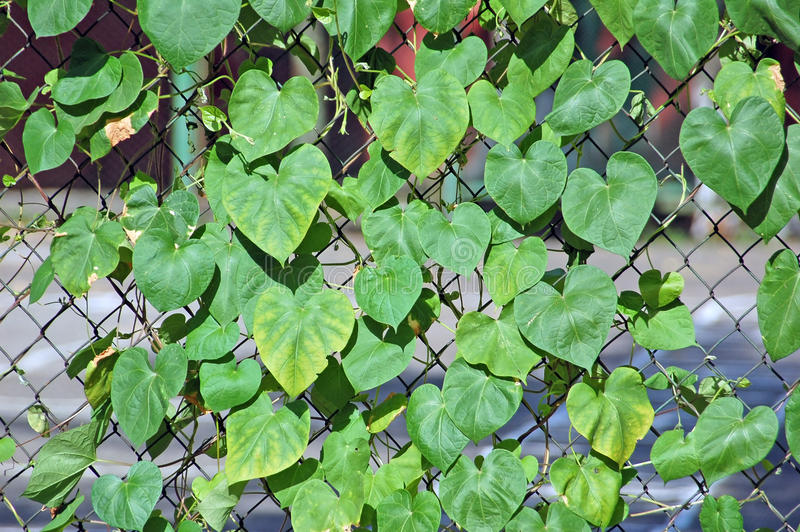 Hedera plant on metal grid stock photography