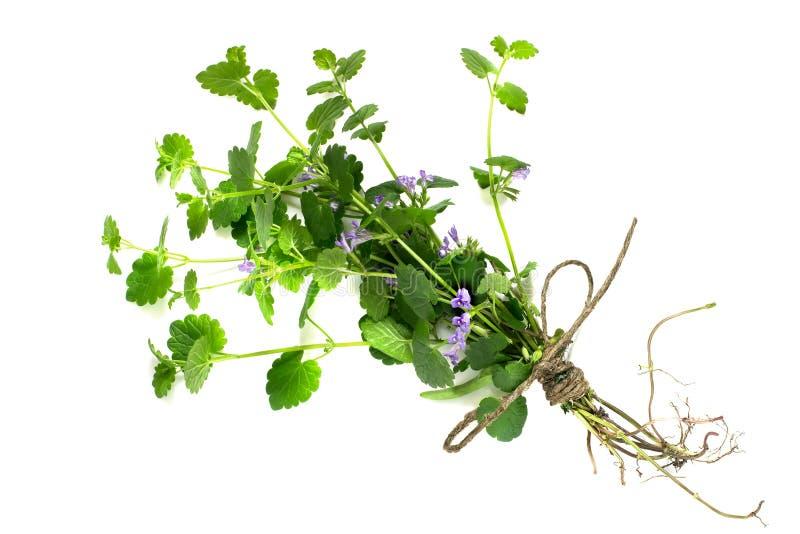 Hederacea del Glechoma de la planta medicinal fotografía de archivo libre de regalías