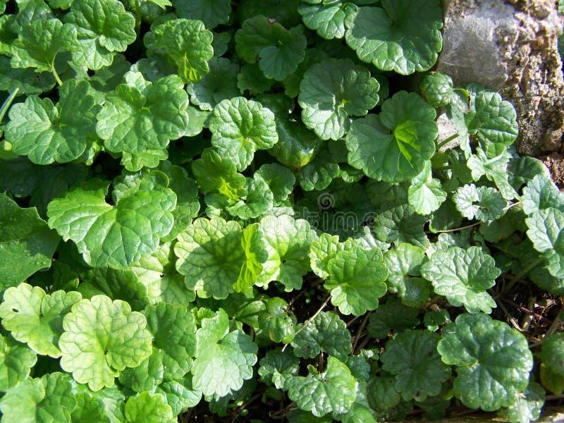 Hederacea Glechoma - целебная трава стоковое изображение