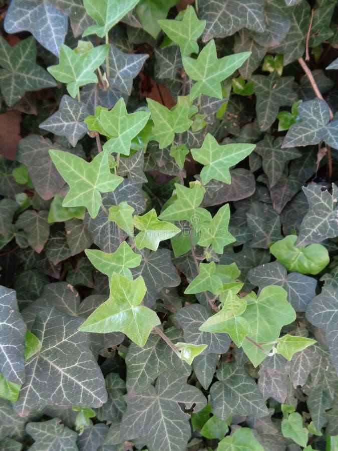 Hederahelix mit immergrünen Blättern stockfotos
