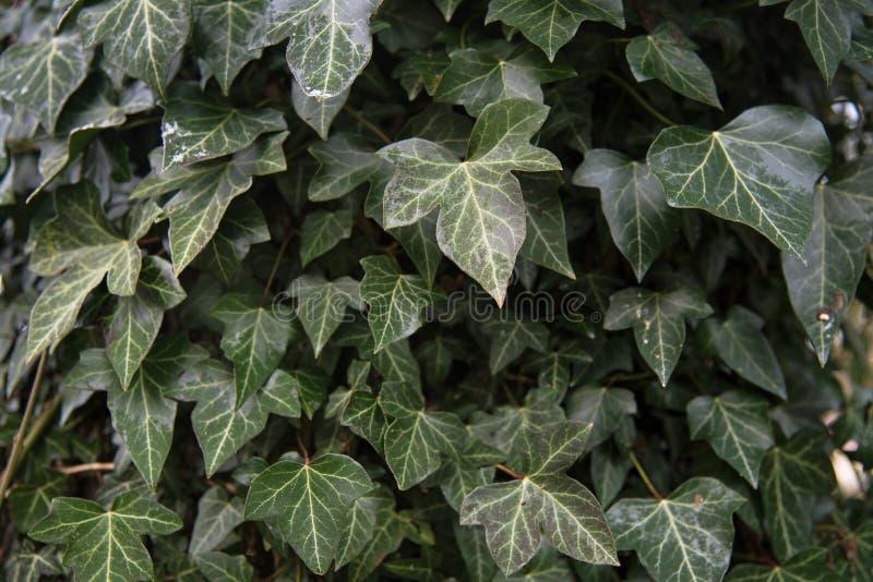 Hederaspiral för gemensam murgröna en vintergrön klättringväxt för trädgård royaltyfri fotografi