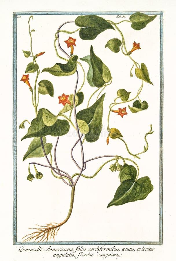Hederifolia americana del Ipomoea de Quamoclit foto de archivo