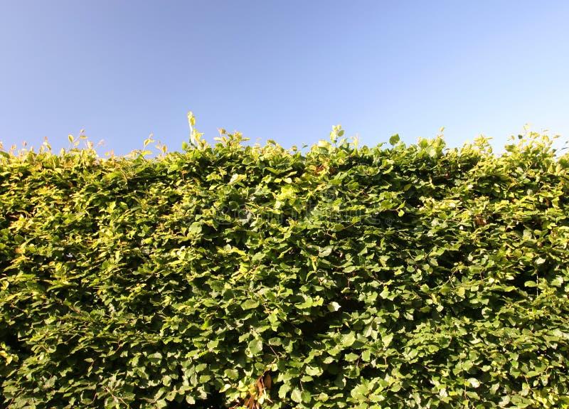 Beech Hedge Green Shrub Barrier Royalty Free Stock Photos