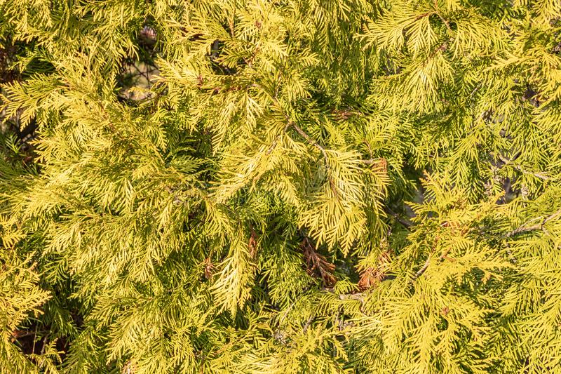 Hedge of arborvitae trees, close-up. Bush Thuja occidentalis is an evergreen coniferous tree in the cypress family Cupressaceae. Hedge of arborvitae trees stock photo