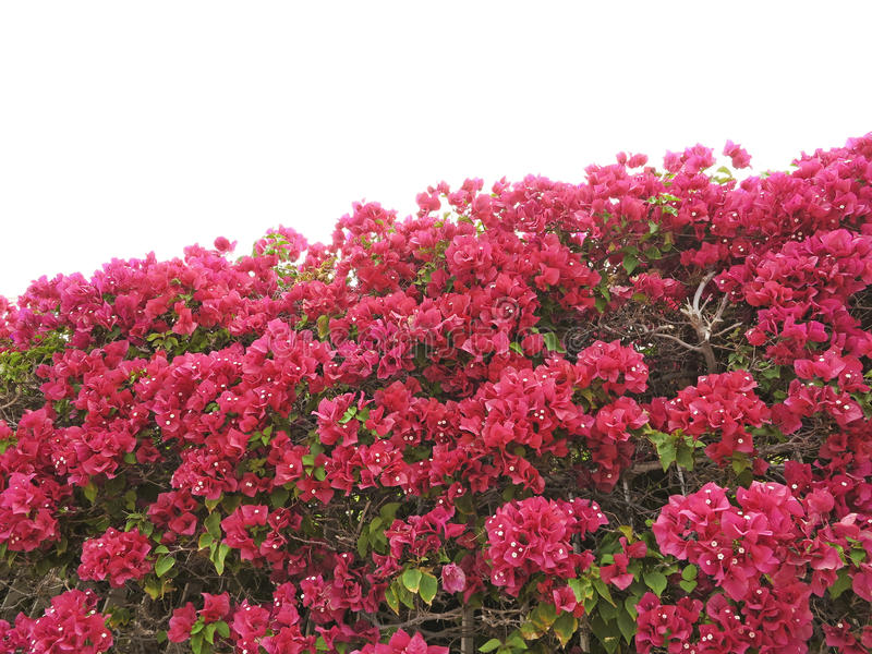 Download Hedge from bougainvillea stock image. Image of flowers - 24487001