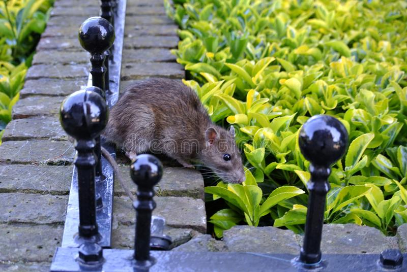 Hedge and boundary wall. The hedge and boundary wall with rat stock photography