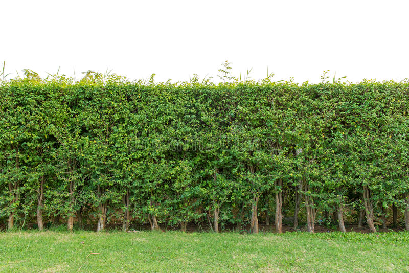hedge fence or Green Leaves Wall isolated on white background royalty free stock images