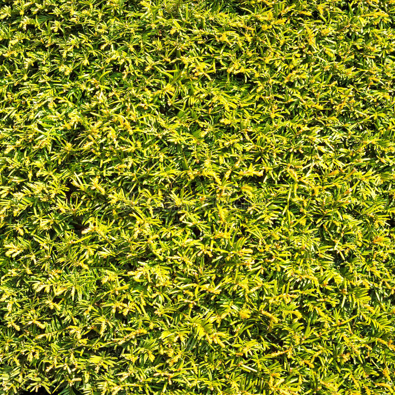 Hedge green leaves similar grass texture background wall royalty free stock photo