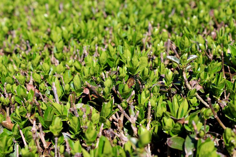 Hedge or Hedgerow closely spaced densely planted shrubs with multiple small branches and light green leaves in local garden. On warm sunny day stock photography