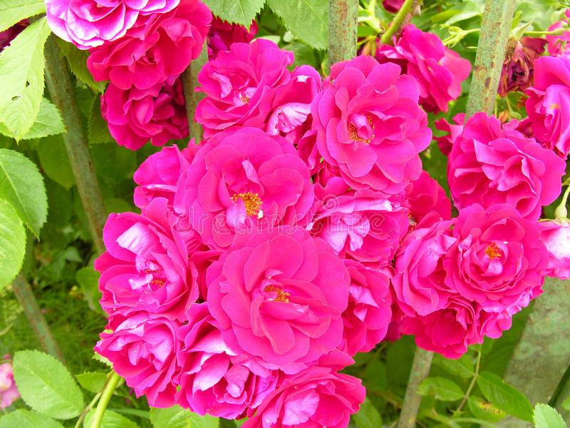 Hedge a richly flowering ornamental rose bus royalty free stock photography