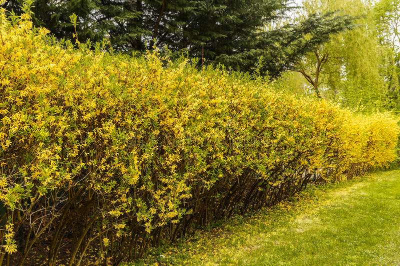 Hedge separating rural house beside the road. Natute royalty free stock image
