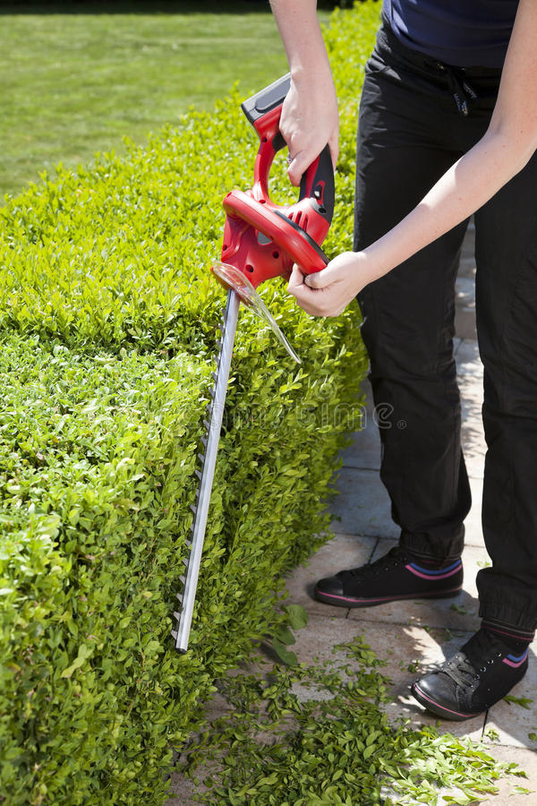 Hedge trimmer. The person cuts the hedge by the Hedge trimmer stock photo