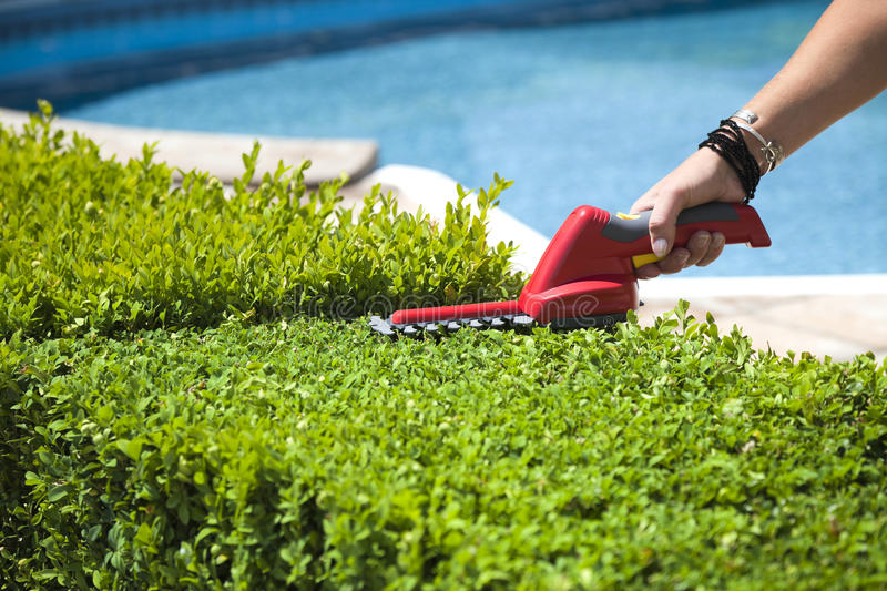 Hedge trimmer. The person cuts the hedge by the Hedge trimmer stock image