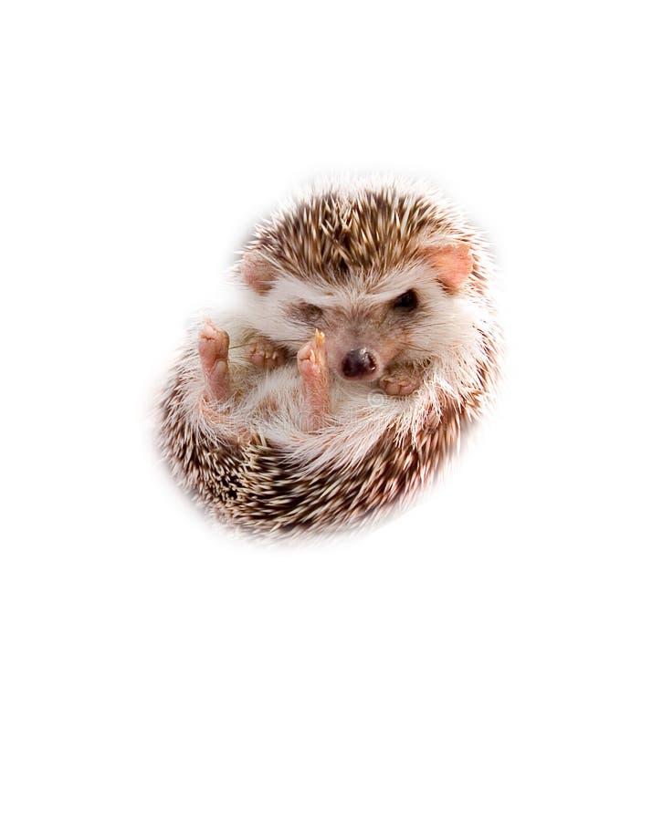 hedgehog младенца стоковое изображение