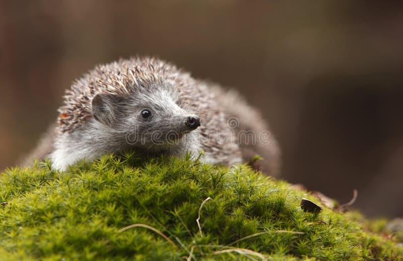 hedgehog пущи стоковые изображения rf