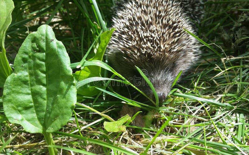 hedgehog травы немногая стоковое фото