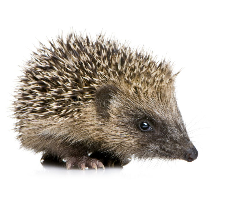 Download Hedgehog (1 Months) Royalty Free Stock Image - Image: 3152286