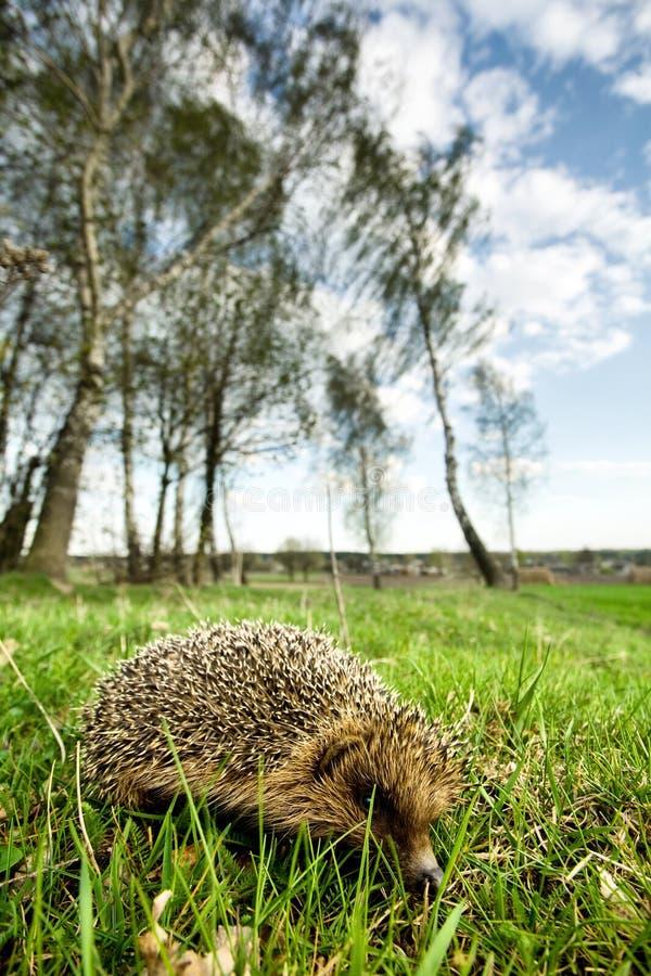 Free Hedgehog Stock Photo - 12134850