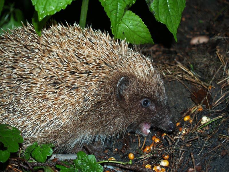 Hedgehog fotografia de stock royalty free