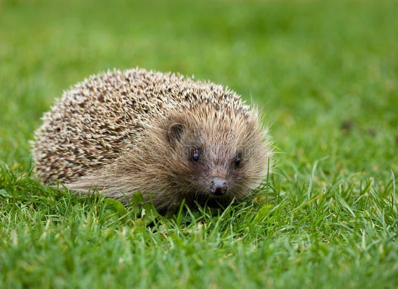 hedgehog стоковые изображения
