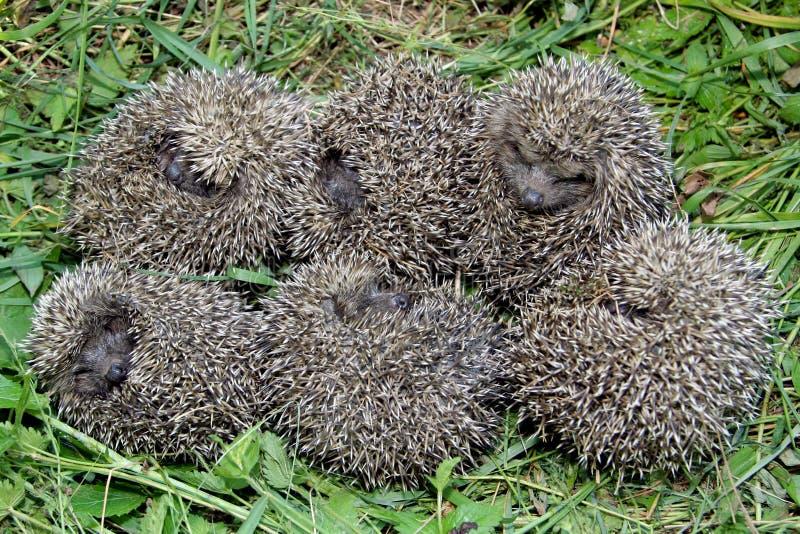 Hedgehog royalty free stock photography