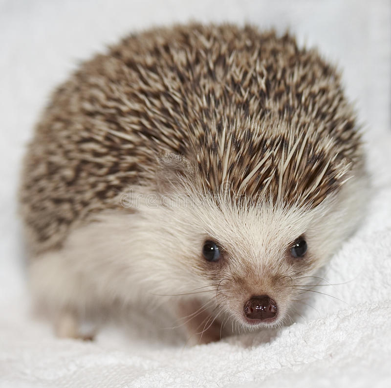 Download Hedgehog stock photo. Image of front, stare, view, hedge - 15570930