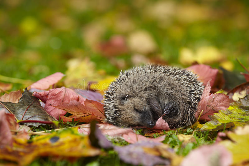 Download Hedgehog stock photo. Image of leaves, mammal, garden - 16323638