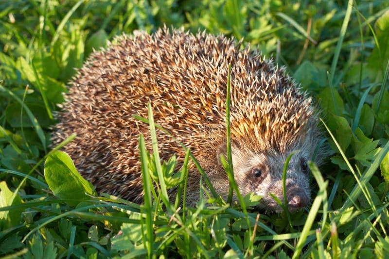 Download Hedgehog imagem de stock. Imagem de grama, hedgehog, animal - 16852109