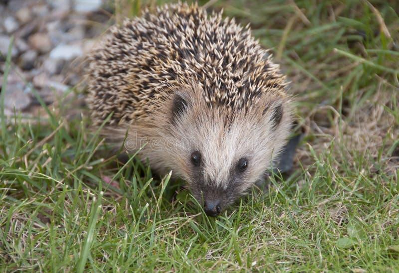 Hedgehog stock photography