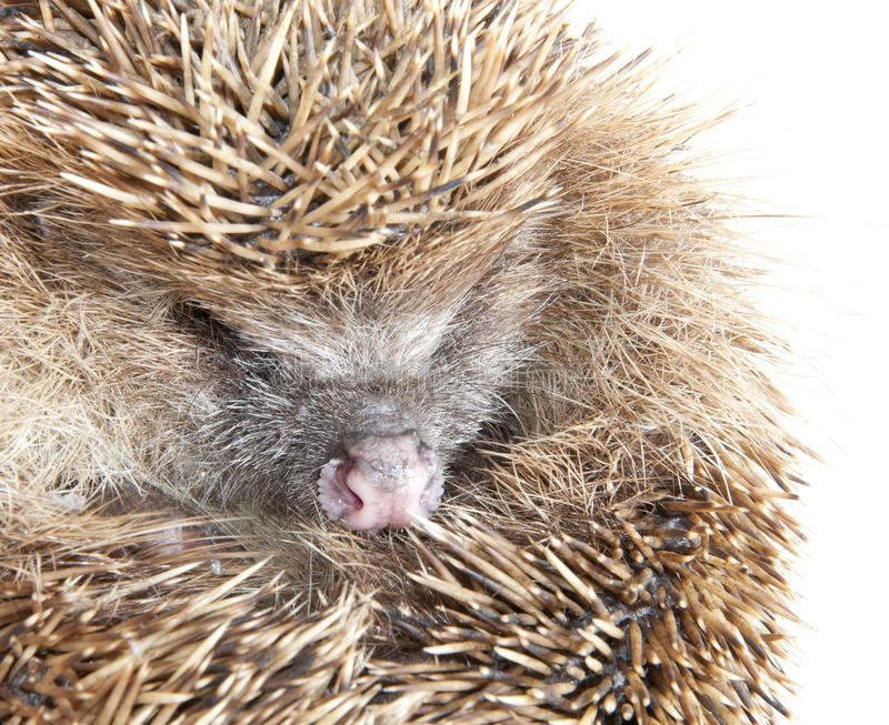 Download Hedgehog stock photo. Image of forest, puncture, animal - 18935922