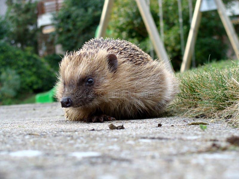 Download Hedgehog 2 stock photo. Image of mammal, sharp, spikes - 10686310