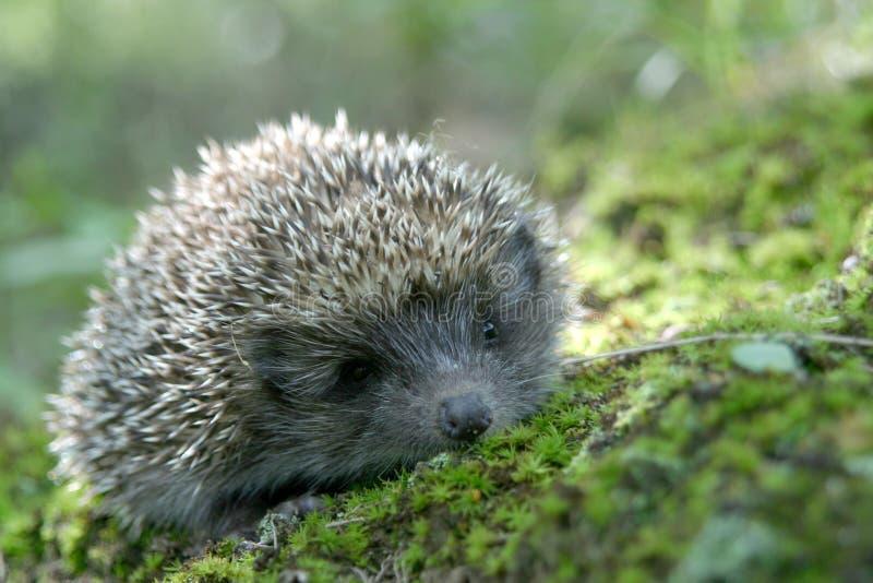 Download Hedgehog Stock Image - Image: 2008181