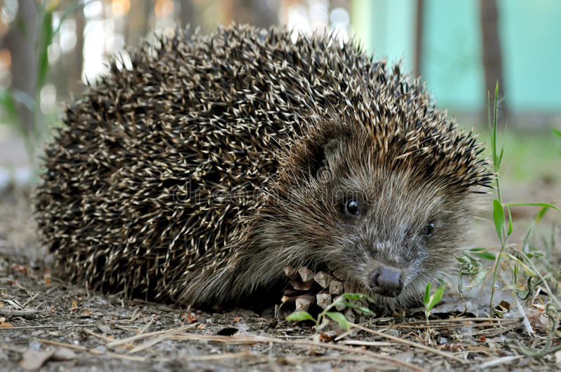 Hedgehog. On the green grass in search of food stock photography