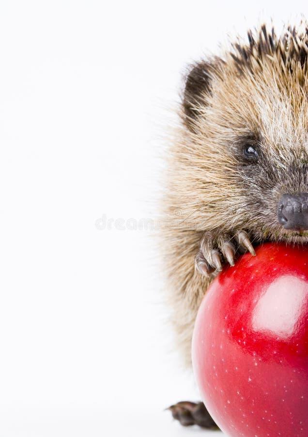 hedgehog стоковое фото