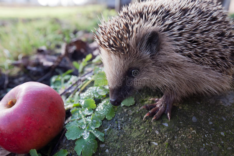 Download Hedgehog stock image. Image of watching, nature, claw - 22715347